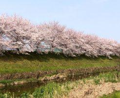 桜咲く桂川にて