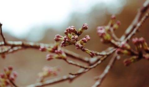 桜の芽もまだまだ